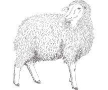 Zitatbild Schaf