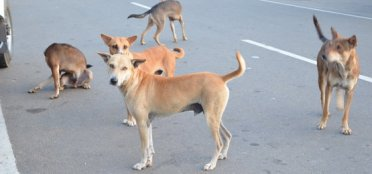 Streunerhunde Sri Lanka