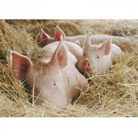 Billet Schweine