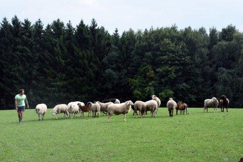 Schafe mit Chef