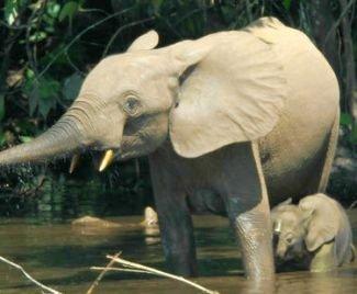 Retten wir die Waldelefanten und Schimpansen!